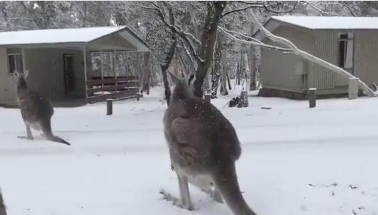 19:44 by Info Resist Кенгуру рады В Австралии прошел сильный снегопад InfoResistЧитать материал на украинском